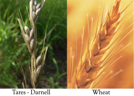 wheat and tares 4